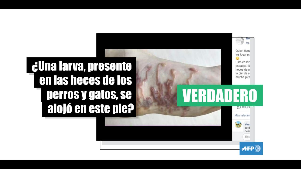 perro comiendo infección de piel de caca de gato
